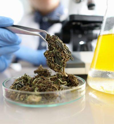 Le cannabis médical pourrait jouer un rôle important pendant le COVID-19